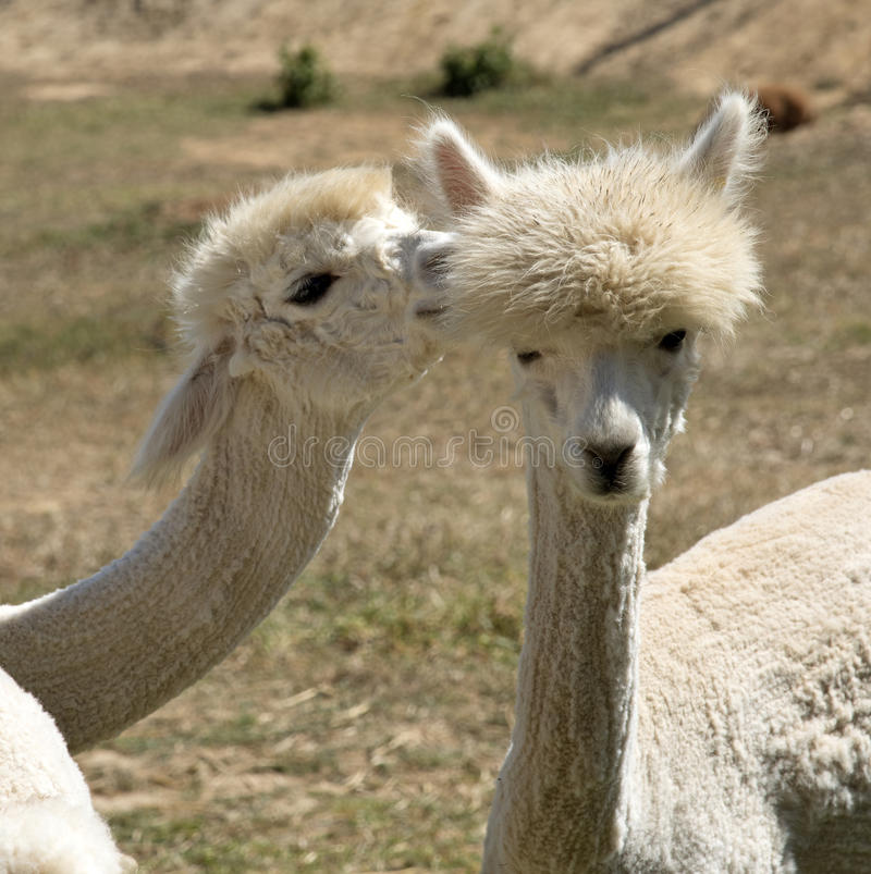 Young Alpacas South Africa royalty free stock images