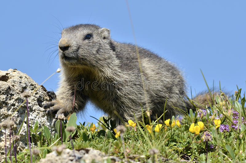 Download Young Alpine marmot stock photo. Image of mountain, closeup - 30516724