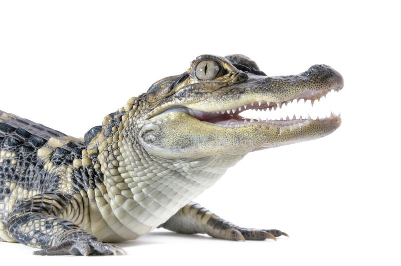 Young American Alligator stock images