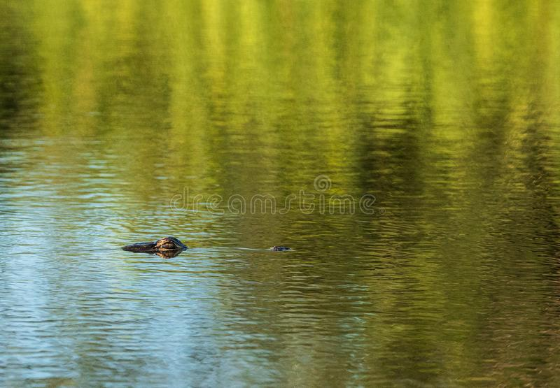 Young American alligator Alligator mississippiensis eyes peer out of the background of water. And sea grass over a marsh in Florida royalty free stock photography