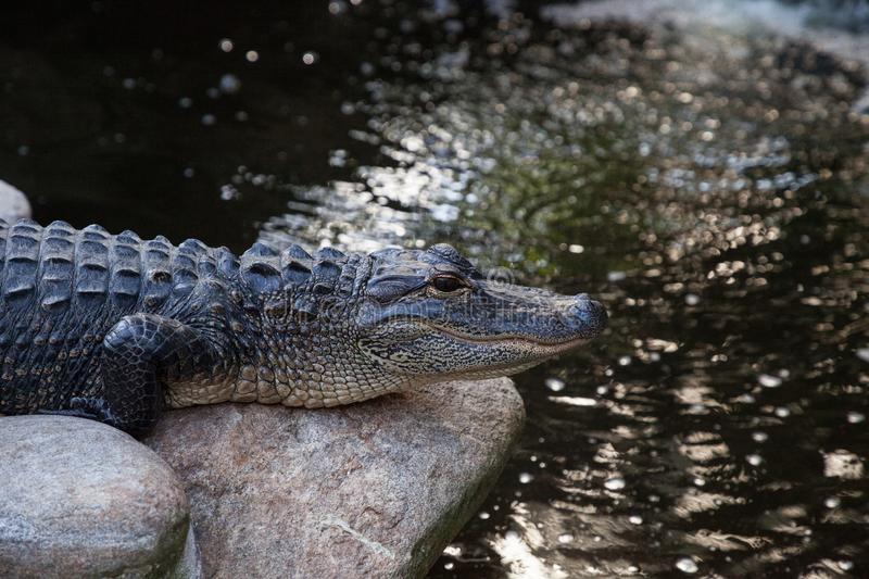 Young American Alligator Alligator mississippiensis. Rests along the shoreline of a big pond stock images