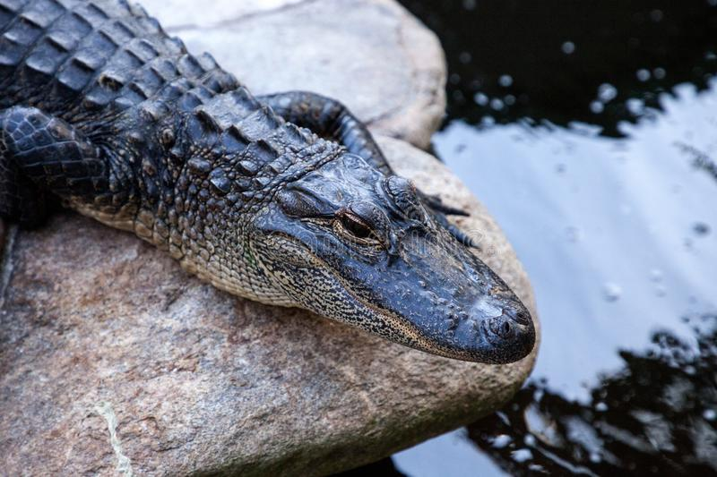 Young American Alligator Alligator mississippiensis. Rests along the shoreline of a big pond royalty free stock images