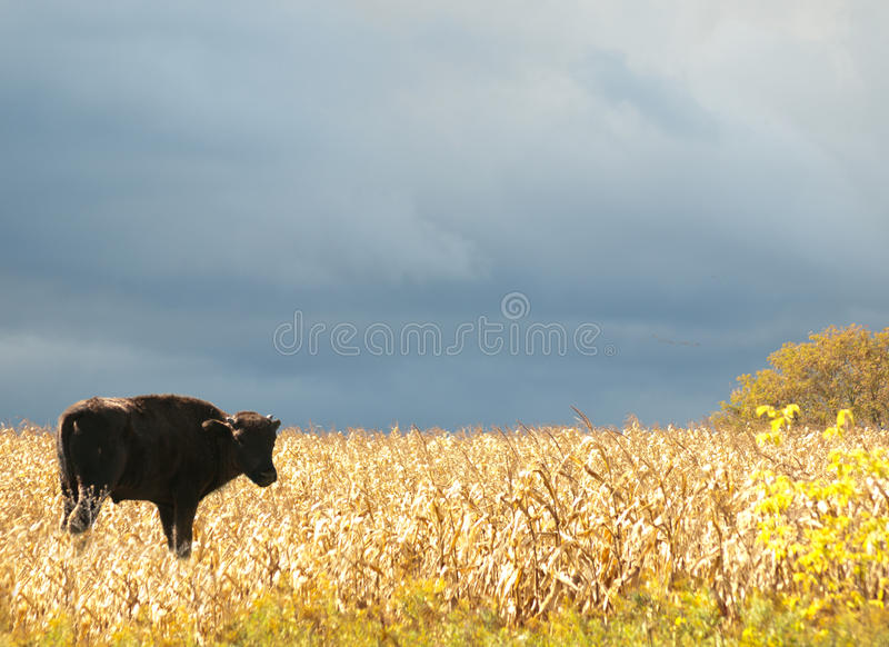 Download Young American Bison, American Buffalo Stock Photo - Image: 27095324