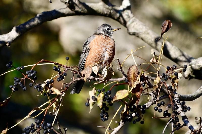 A Young American Robin royalty free stock image