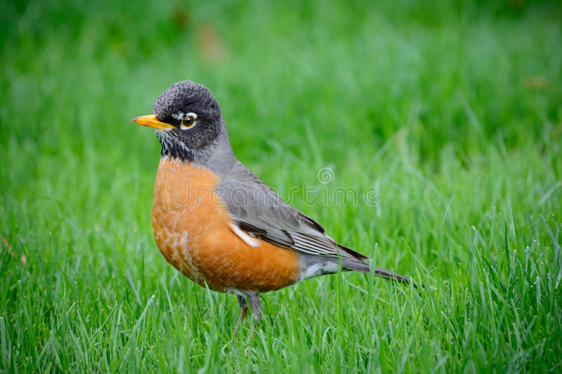Young American Robin Redbreast. In Springtime Grass. Bright eyes, yellow beak and detailed feathers. Dirty beak royalty free stock photos
