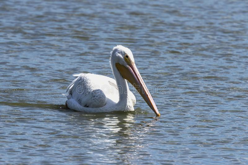 Young American white pelican on the lake. Nature scene from wisconsin,lake Michigan royalty free stock photo