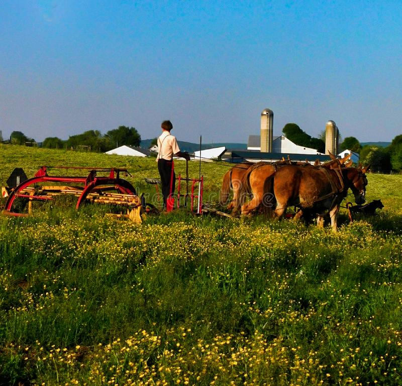 A young amish man cuts grass in a field with a team of mules stock images