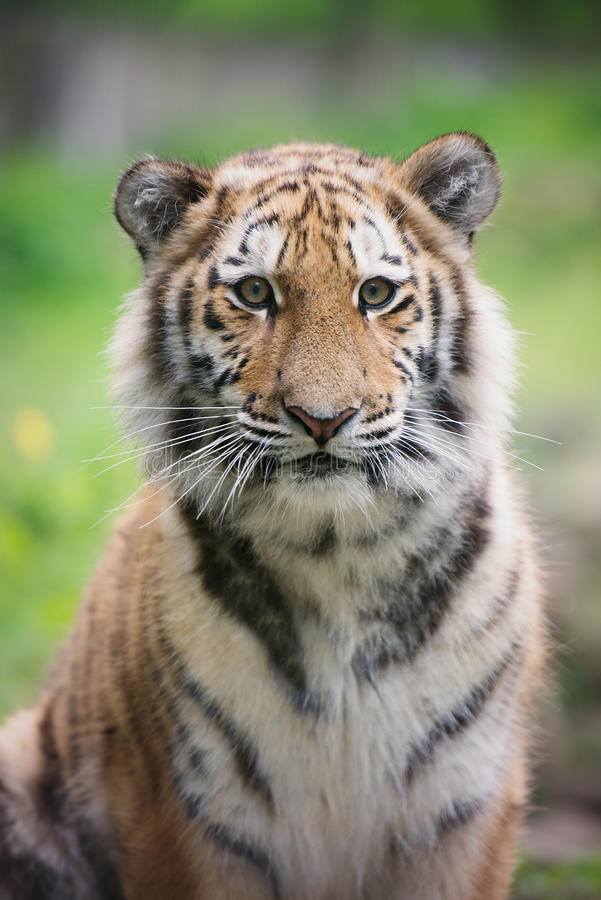 Young amur tiger portrait. Young amur tiger cub in the zoo royalty free stock images