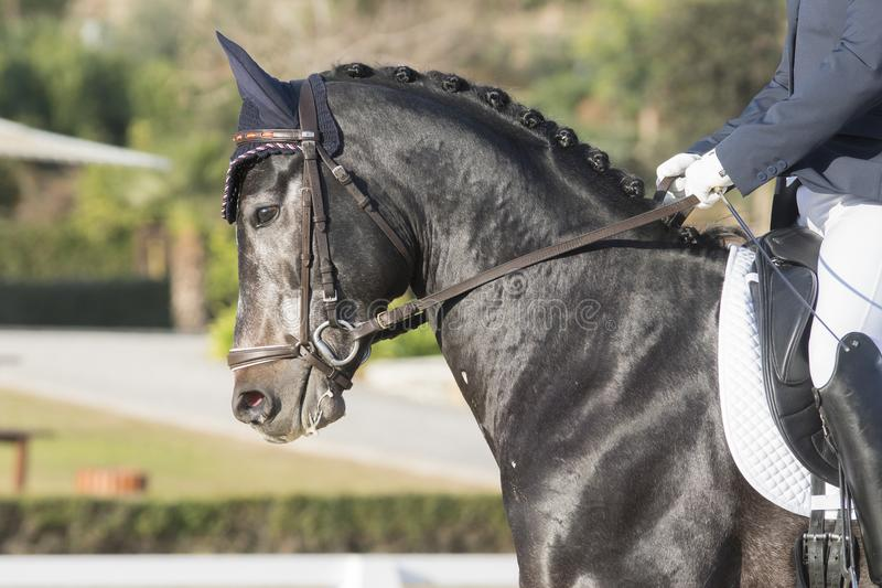 Young anglo arabian horse in dressage. Young Anglo Arabian horse in a dressage competition in the light of the sun royalty free stock photos