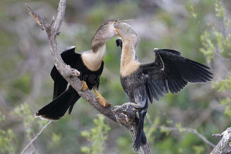 Download Young Anhinga Reaching Into Its Mother`s Throat To Extract A Partially Digested Meal Stock Photo - Image of nest, black: 110796200