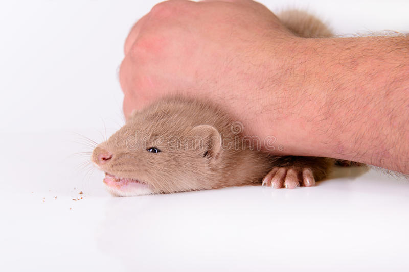 Download Young animal mink stock image. Image of animals, beast - 31945025