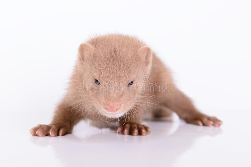 Young Animal Mink Royalty Free Stock Photos