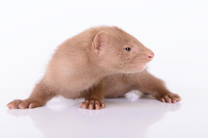 Download Young animal mink stock image. Image of little, predator - 32009535