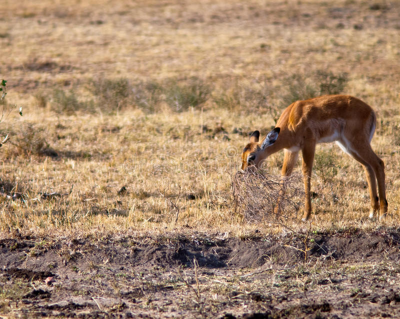Young antelope eating bush. On a background of grass stock images
