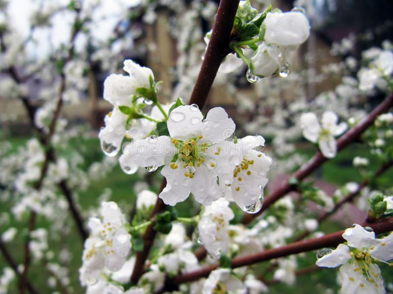 Young apple blooming tree. Young apple blooming tree after rain. Nice green tree on sunshine royalty free stock photo