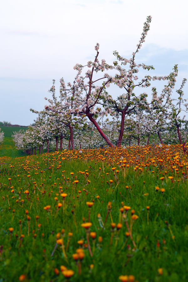 Young apple orchard. View of young apple orchard with flowers, dusk, spring, Saarland/Germany stock photo