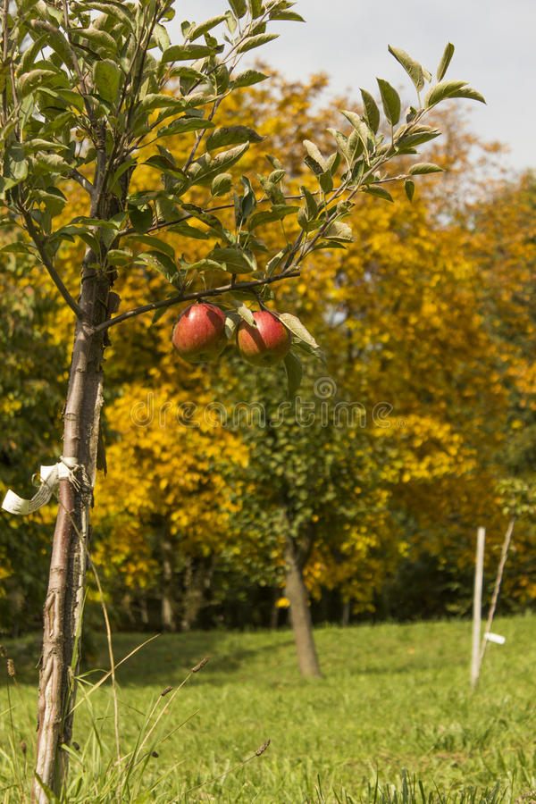A Young apple tree. A Young small apple tree stock image