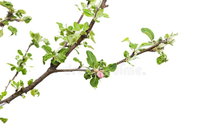 Young apple tree isolated on white background.  stock photo