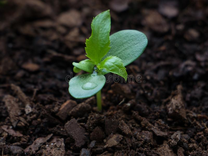 Young Apple tree seedling 3 weeks after sprouting from the earth with water droplets on leaves. royalty free stock photography