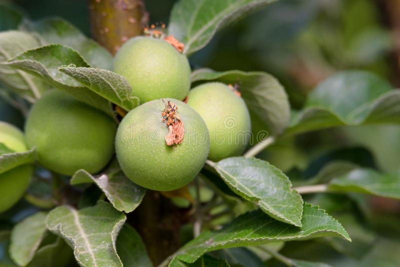 Young apples ripening on a tree branch stock photos