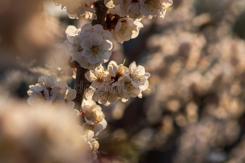 Apricot tree blooms in spring. Young apricot fruit tree blooms in spring with white flowers at sunset royalty free stock images