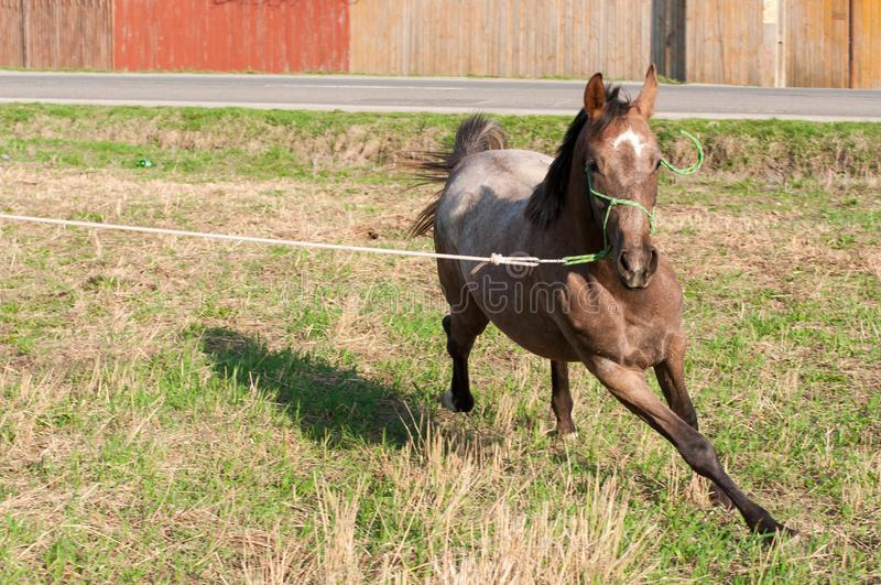 Young arabian purebred horse running with halter stock photo