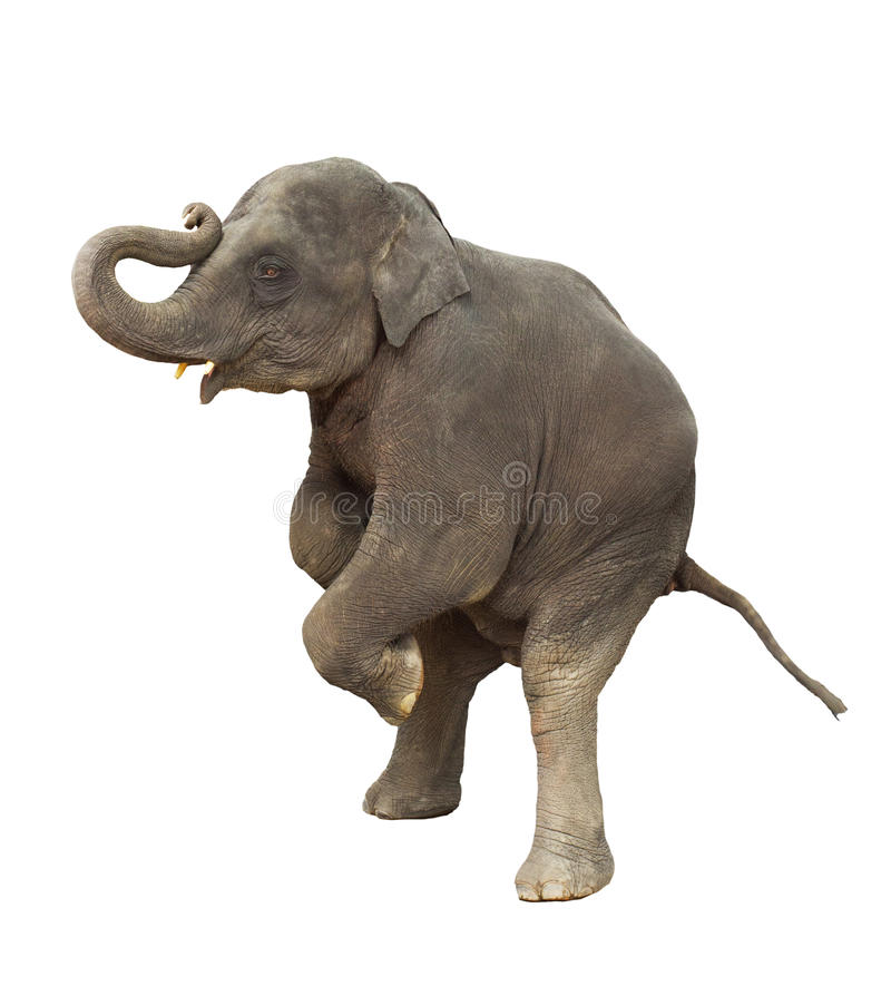 Young asia elephant kid playing lifting front legs to show isolated white background stock photos