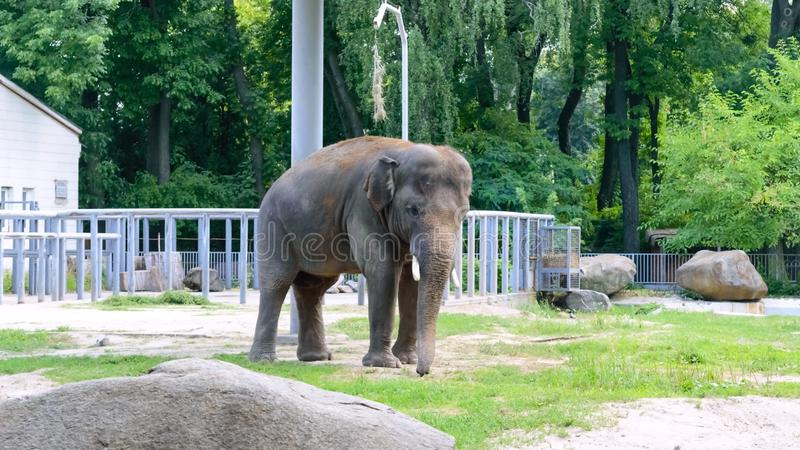 Young Asian elephant walks in a zoo. Large mammal animal in the national park royalty free stock photography