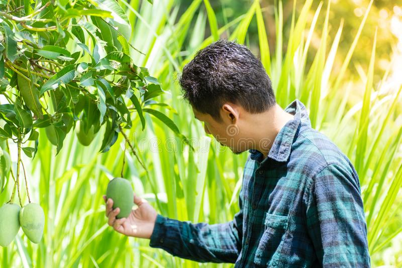 Asian farmer picking raw mango. Young Asian farmer picking raw mango fruit in organic farm royalty free stock images