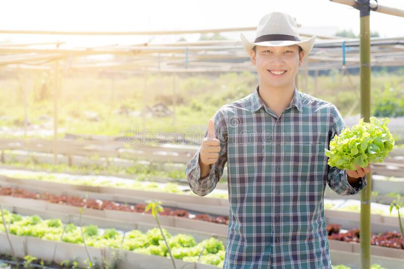 Young asian man farmer holding and showing fresh organic green oak lettuce and gesture thumbs up in farm royalty free stock image