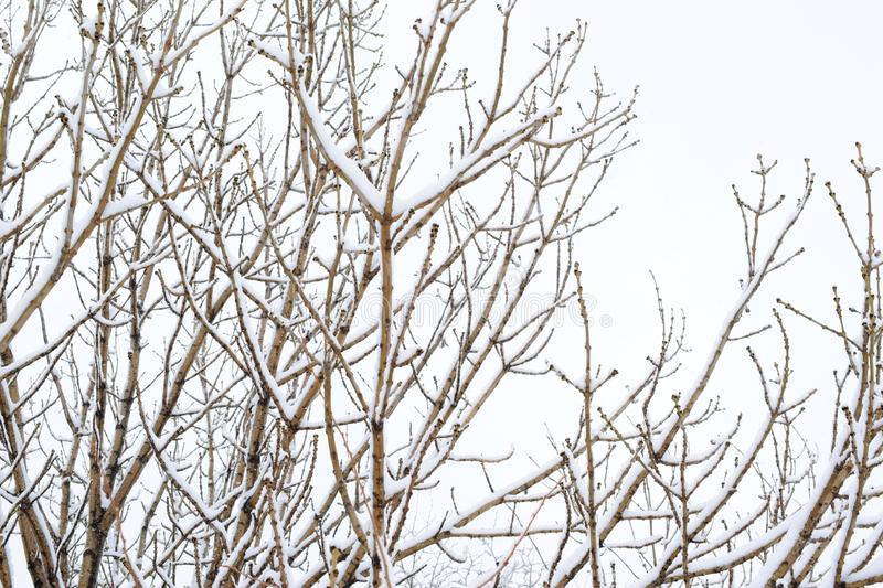 Branches in snow. royalty free stock photo