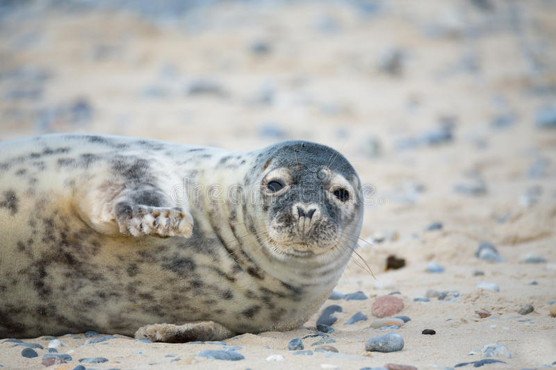 Young atlantic Grey Seal portrait royalty free stock image