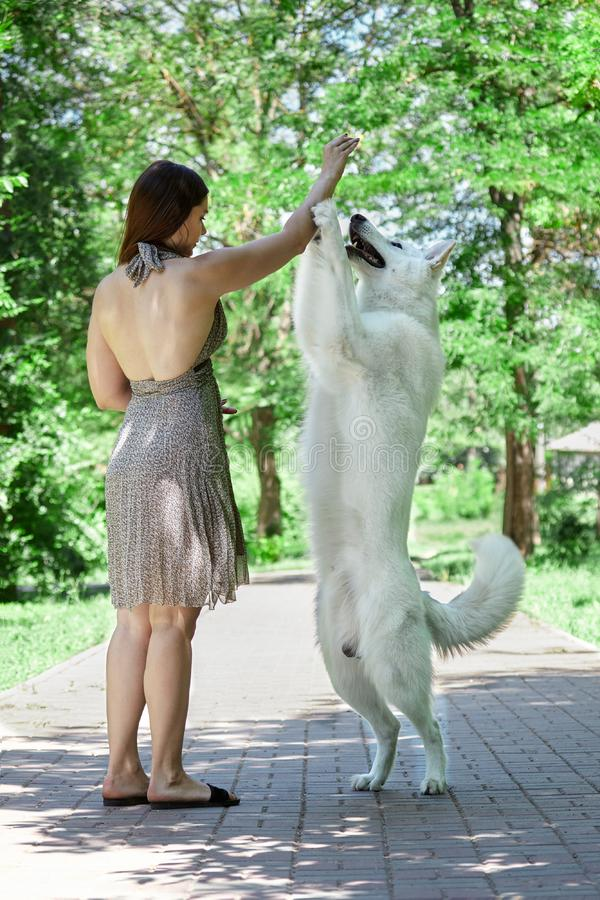 Young attractive caucasian woman makes trick with expressive dog of big swiss shepherd breed in green summer park. Beautiful femal. E and snowy white dog  like stock photos