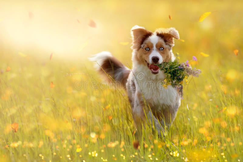 Young Australian Shepherd carries bouquet in mouth stock image