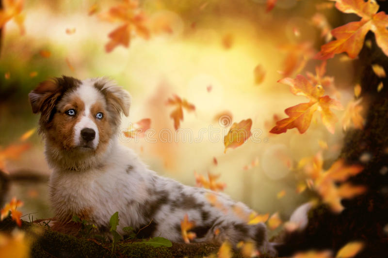 Young Australian Shepherd, lying on tree trunk. In autumn vacation stock images