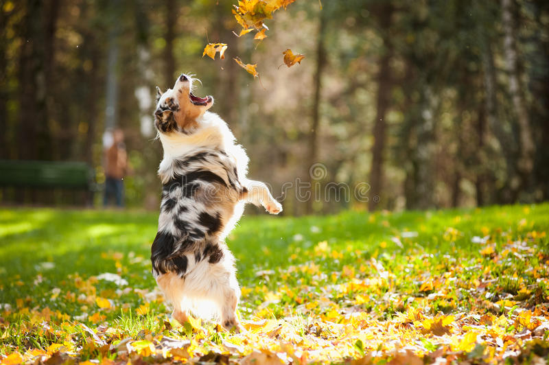 Young Australian shepherd playing with leaves stock image