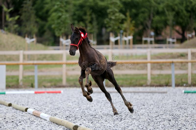 Young award winner friesian horse pose outdoors. Young purebred friesian foal posing on race track outdoors royalty free stock photo