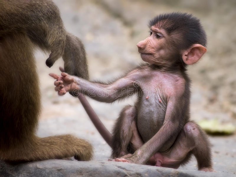 Young baboon. Holding on to it's mothers hand stock images