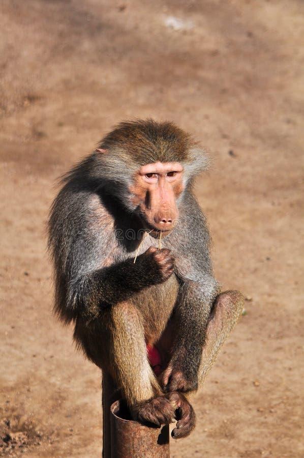 Young baboon stock image
