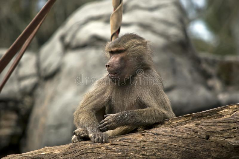 A young baboon royalty free stock photography