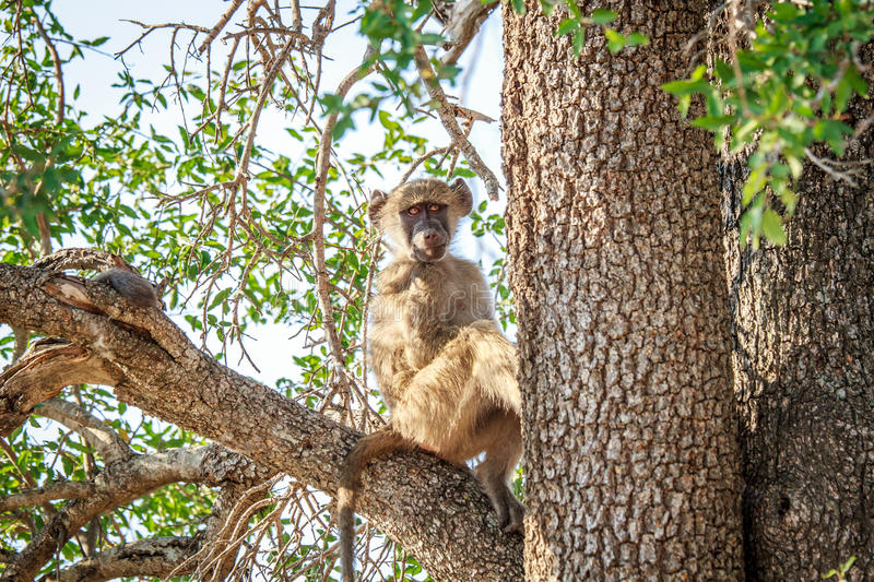 Download Young Baboon Sitting In A Tree. Stock Photo - Image: 83721153