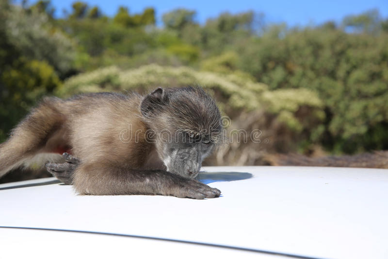 Young Baboon. On the Top of a Car. South Africa royalty free stock images