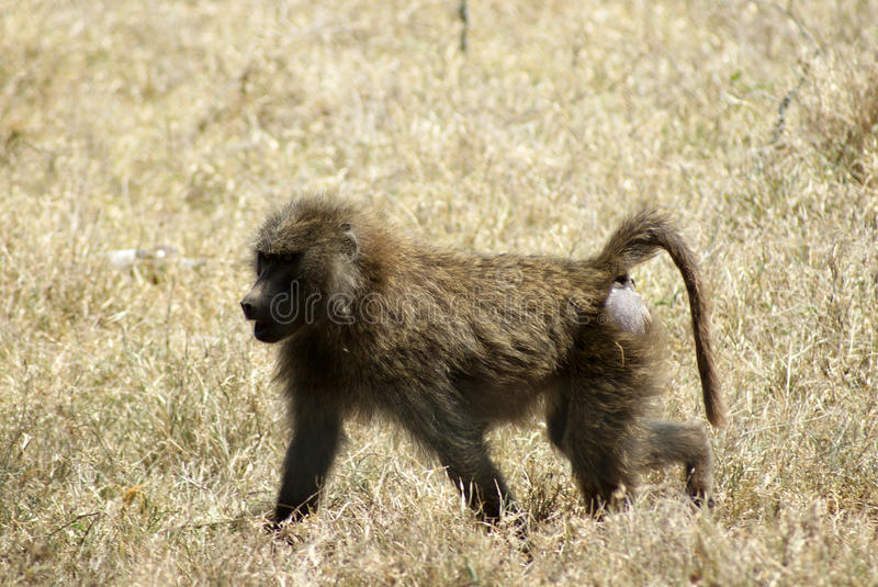 A young baboon walking royalty free stock photography