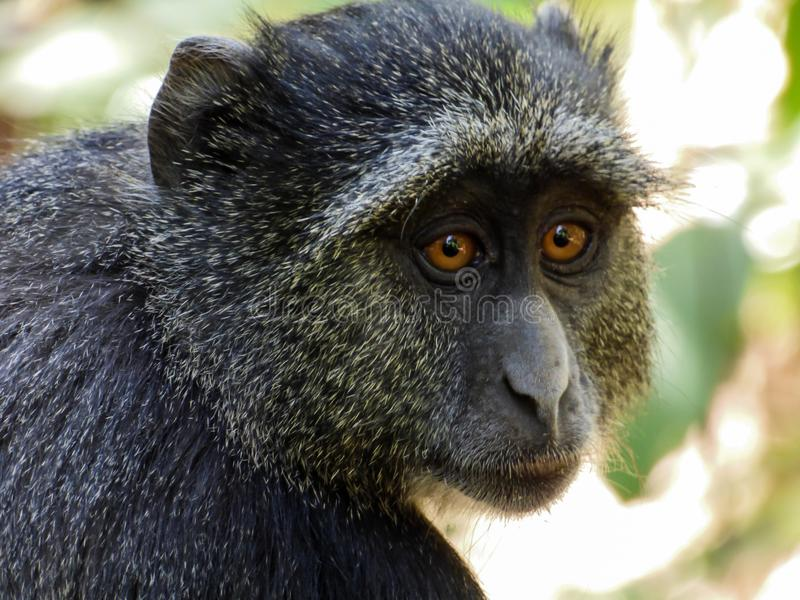 Young baboon stock photography