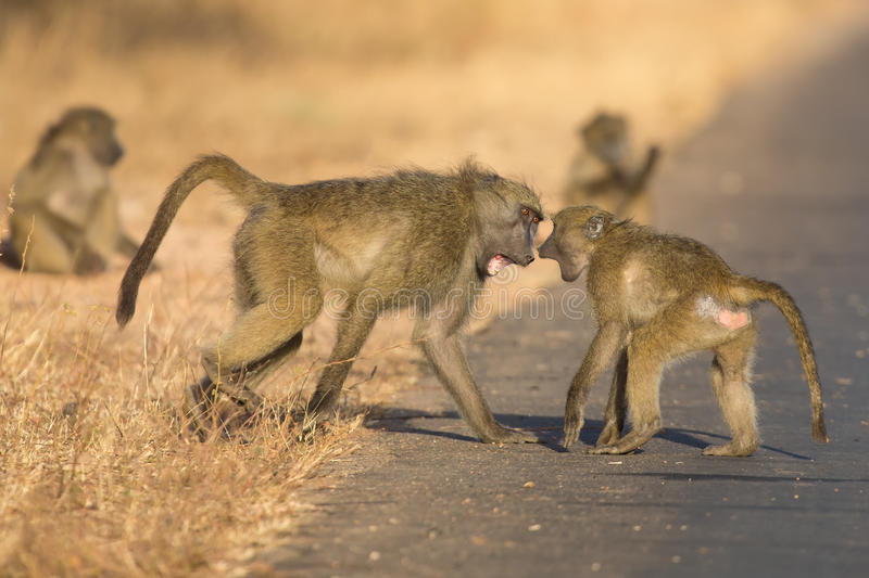 Young baboons playing in a road late afternoon before going back. To their tree royalty free stock images