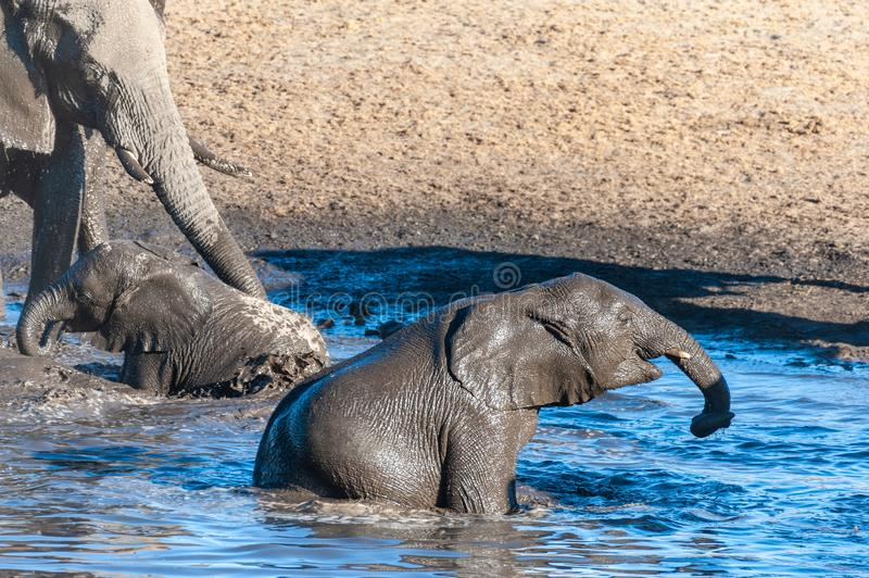 Two baby elephants bathing in a pool in ethosha. A young baby African Elephant -Loxodonta Africana- emerging from the Chudop Waterhole in Etosha National Park stock photography