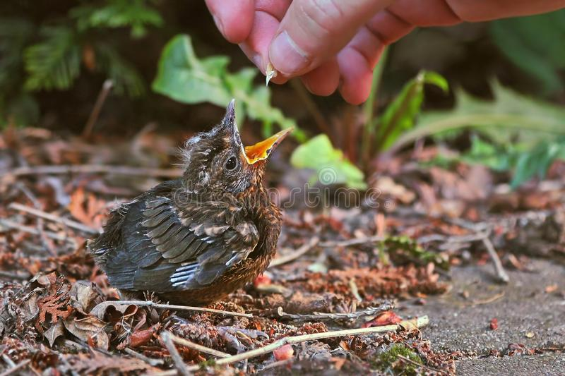 Young baby bird being fed. Blackbird fledgling being fed with seeds royalty free stock photo