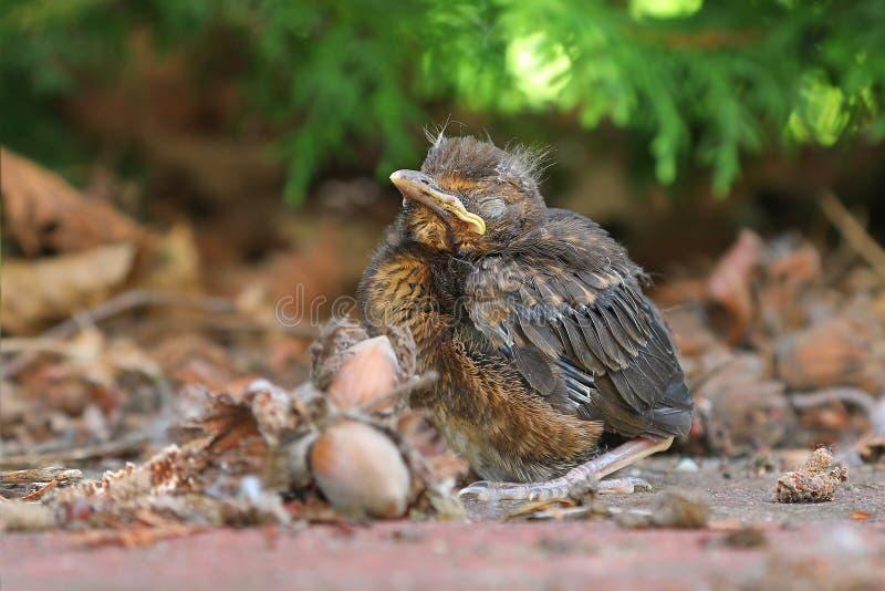 Young baby bird sittin on the ground. Blackbird fledgling sittin on the ground stock image
