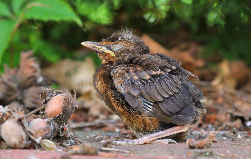 Young baby bird sittin on the ground. Blackbird fledgling sittin on the ground royalty free stock image