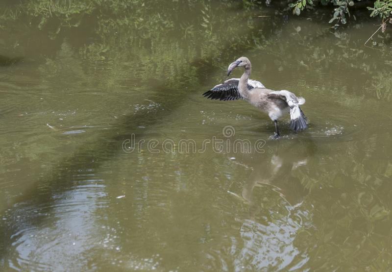 Young baby flamingo bird in the water. Young baby flamingo bird try to fly from the water royalty free stock image